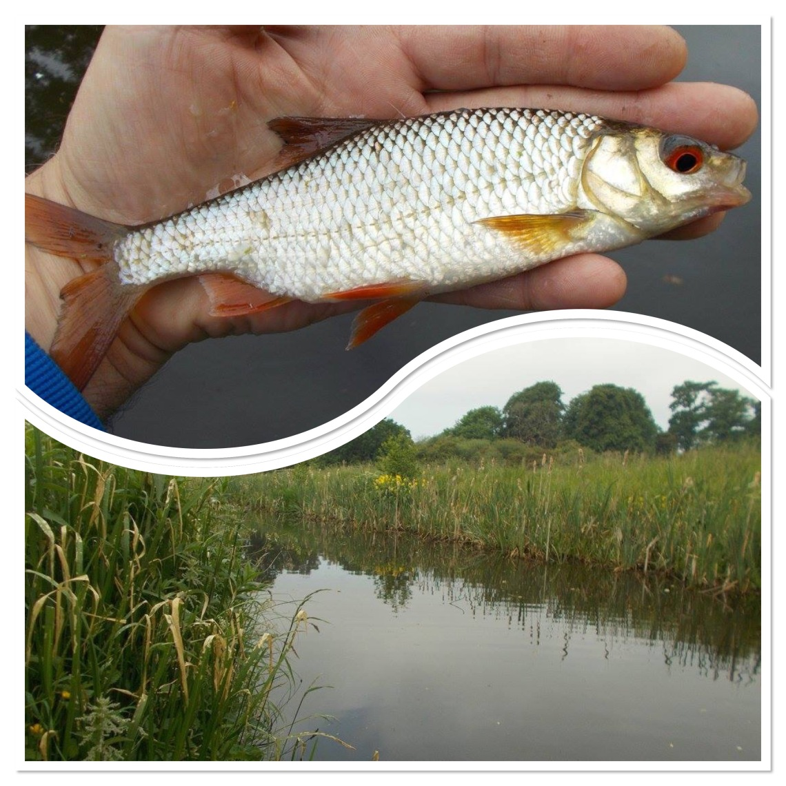 Roach from the canal on drop-shot