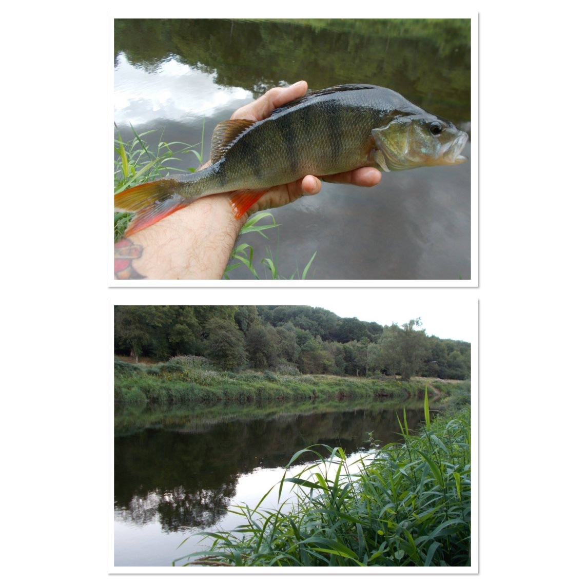 Perch fishing on the middle Severn