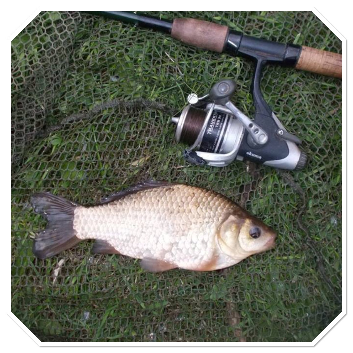 My first ever canal crucian, deserves a photo for itself