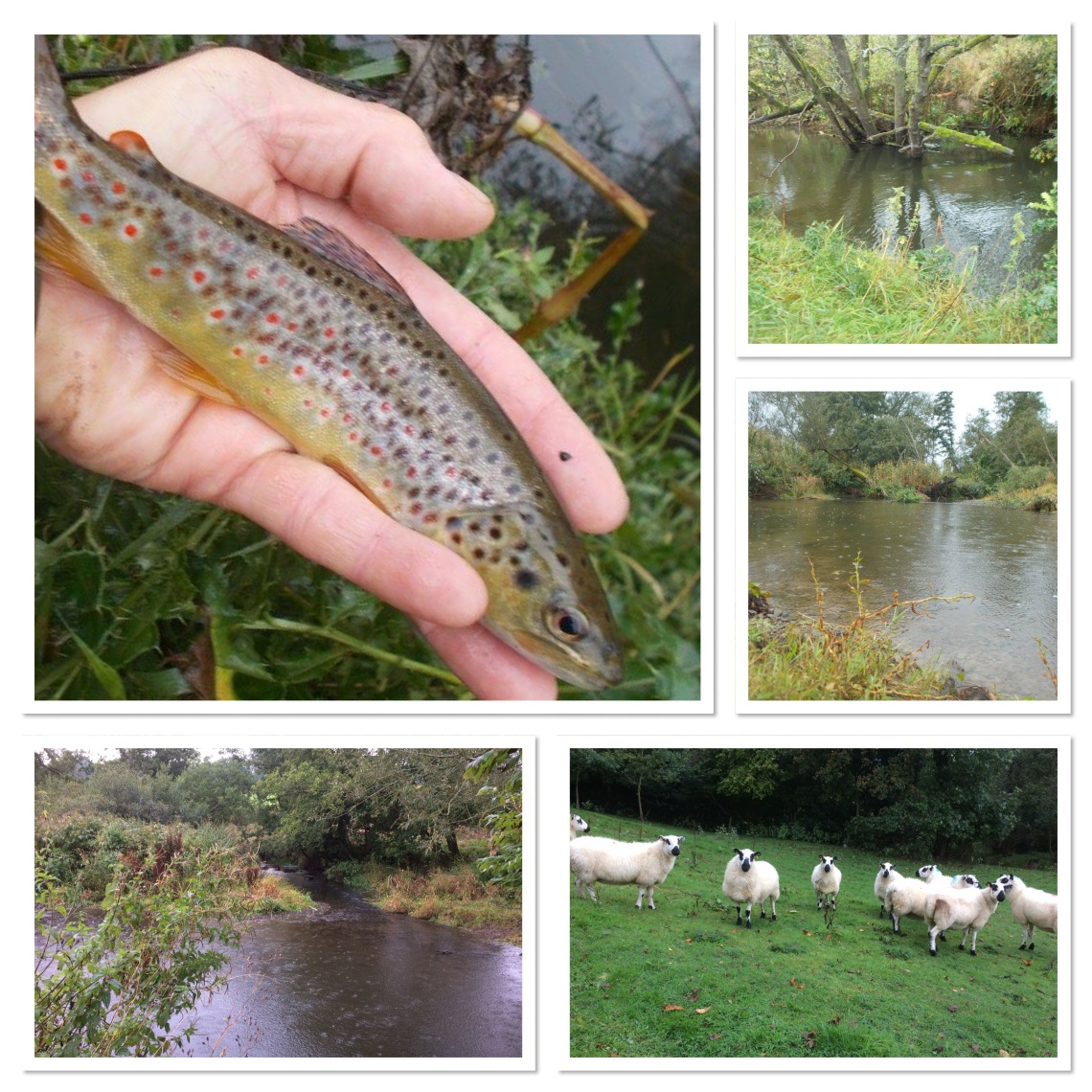 Brown trout, Kerry Hill sheep and a small border river