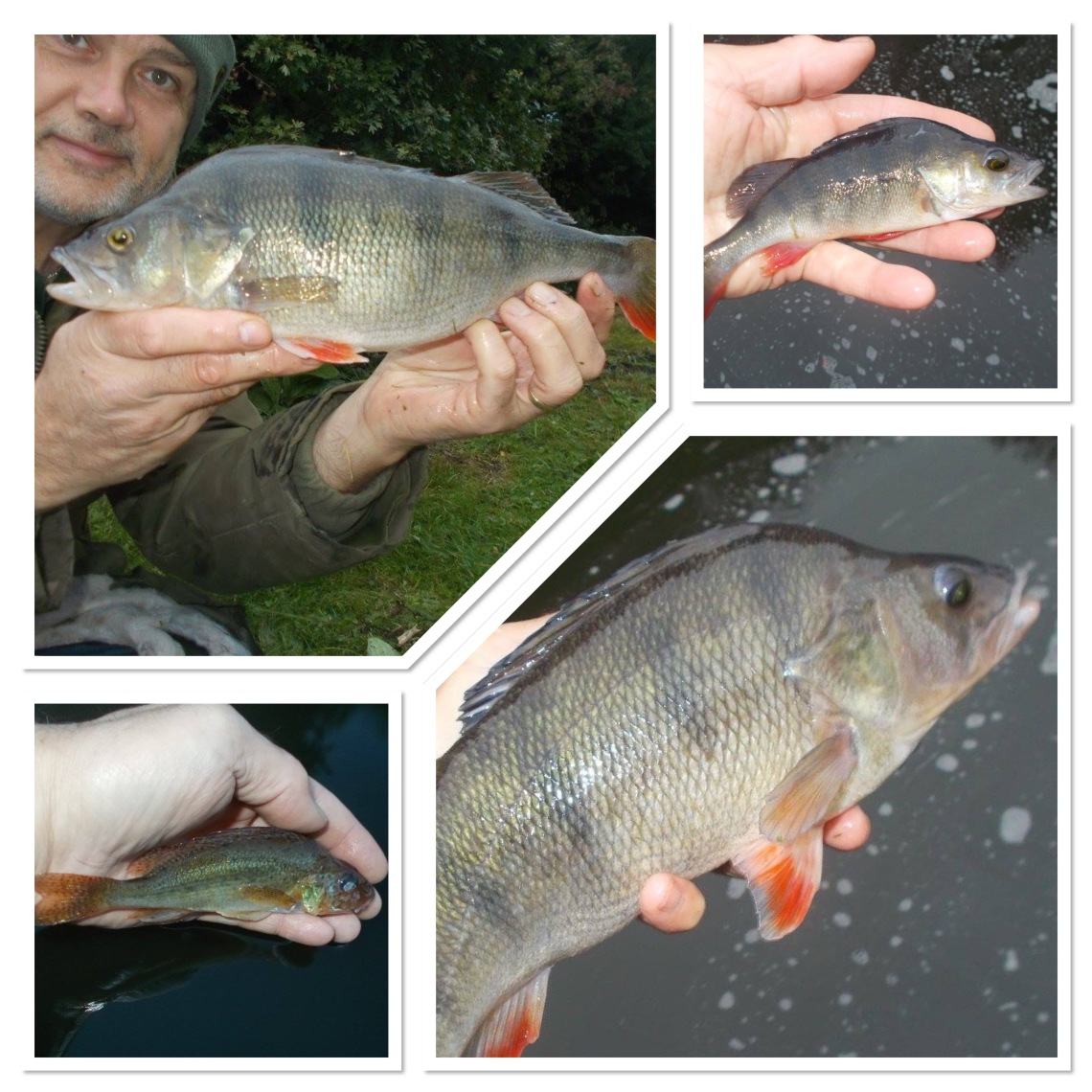 A really nice ruffe - mind you, the perch aren't too bad either