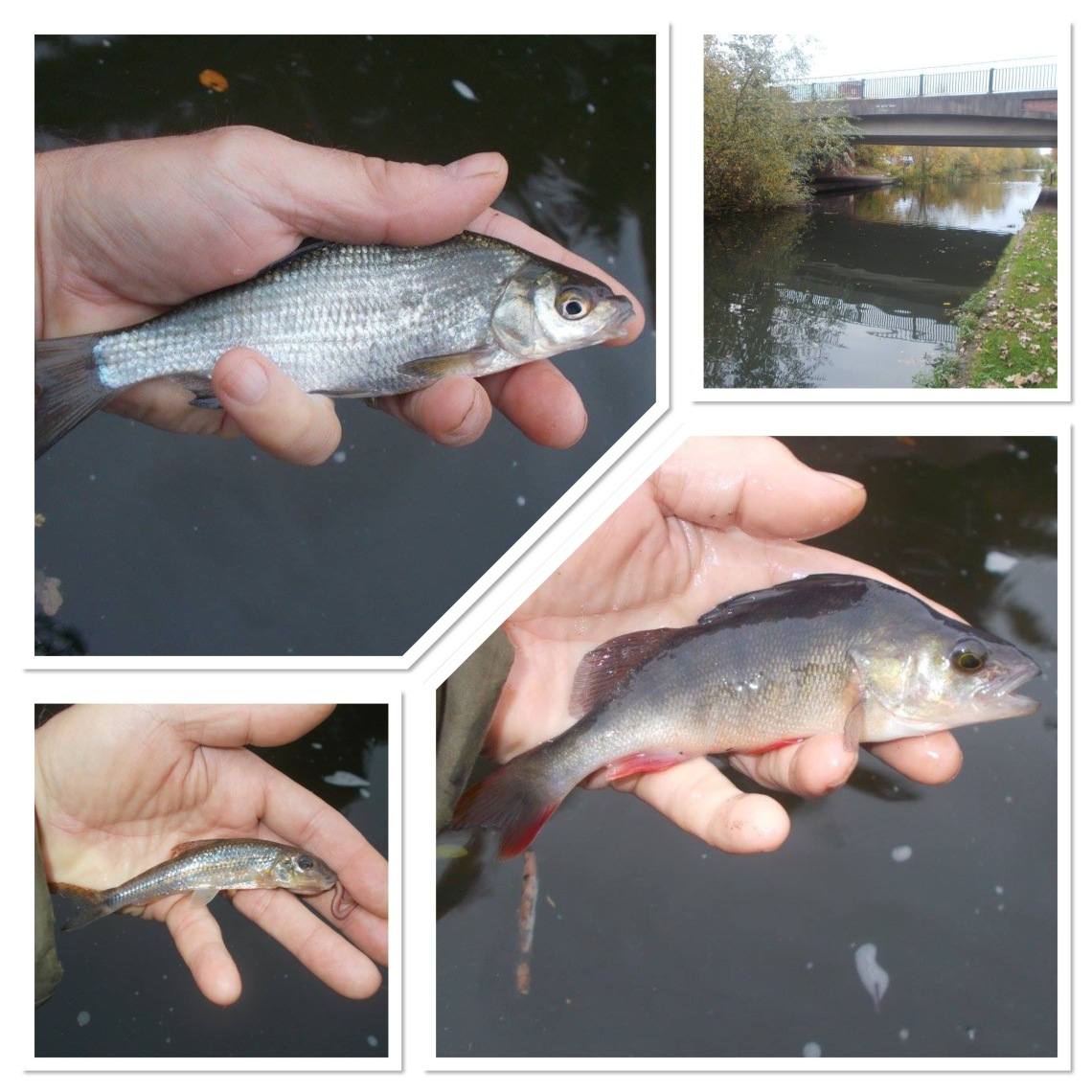 As well as perch, other species took the bait