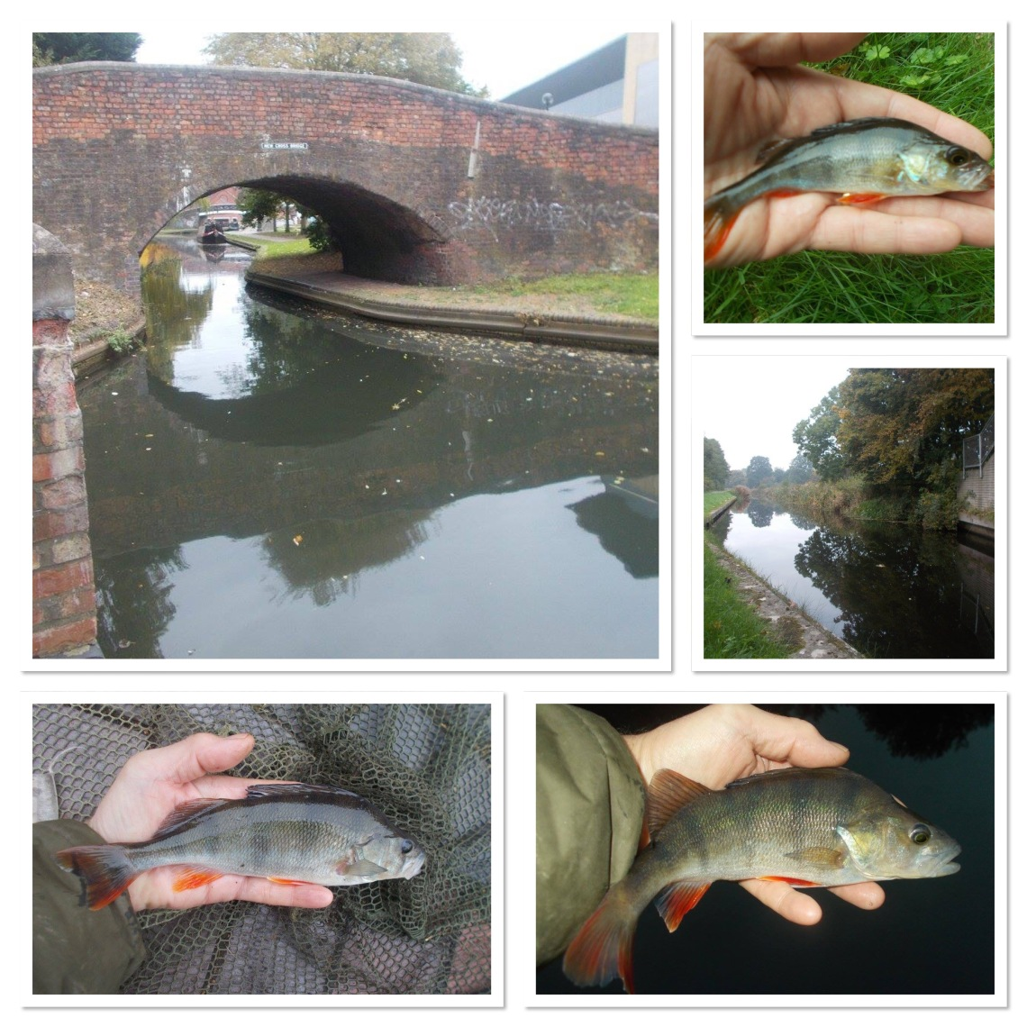 Canal perch feature in my angling a lot