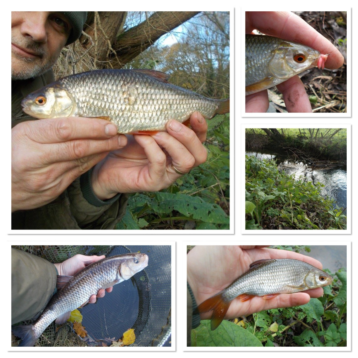 Roach from the brook, chub from the canal
