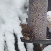 Garden Birding In The Snow, With A Guest Appearance From My Wife...