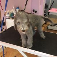 Dilwyn, My Bedlington Terrier,  Has His First Puppy Trim